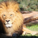lion-890941_640
